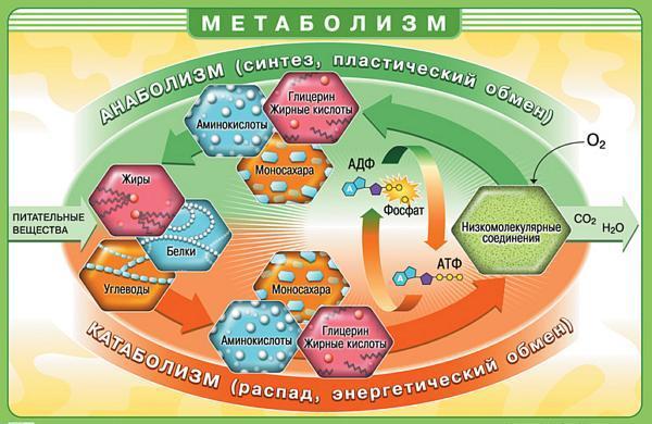 линий вес метаболизм
